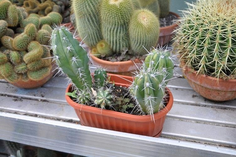 pots with cacti