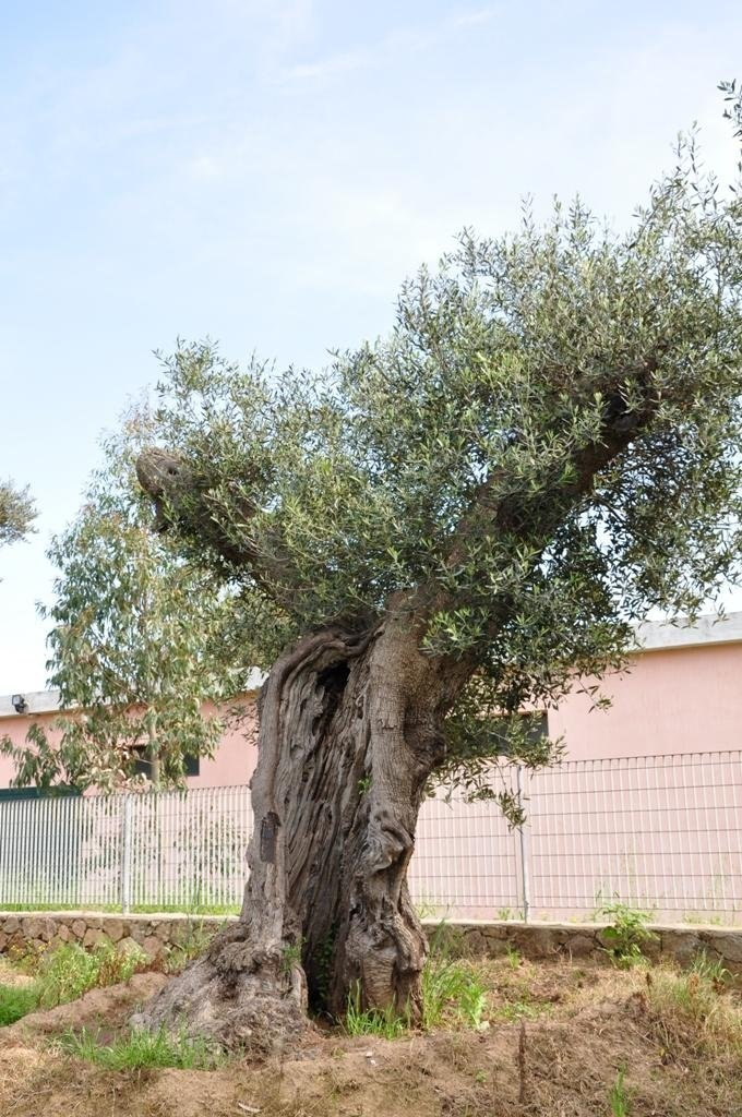 an antique olive tree
