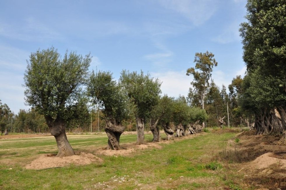 some land with olive trees