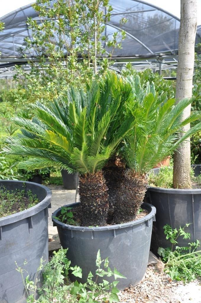 a pot with a mini palm