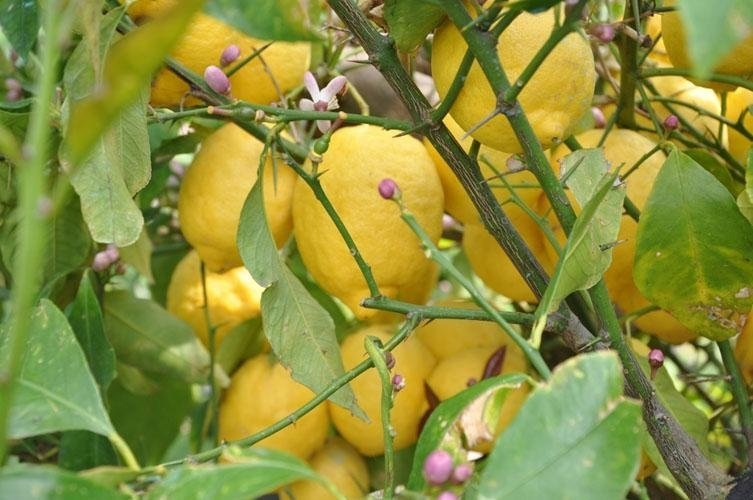 lemon tree with cocoons