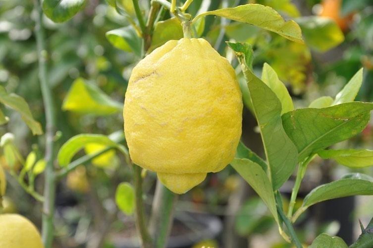 closeup view of a lemon on a tree