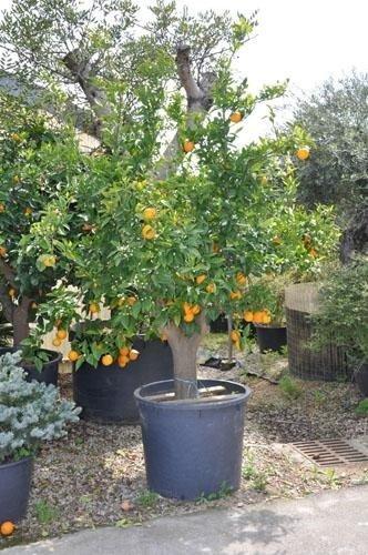 a potted orange tree