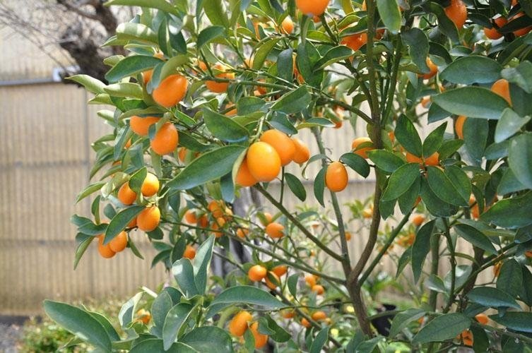 mandarin oranges on a tree
