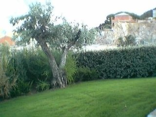 a garden with a hedge and an olive tree