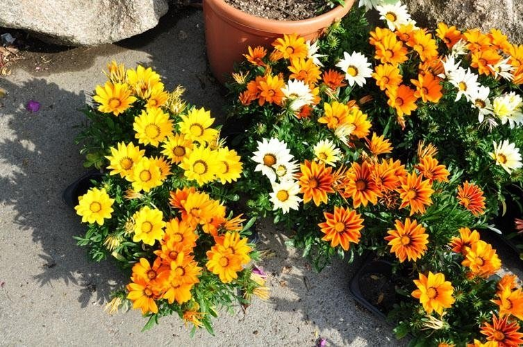 white, yellow and orange potted flowers