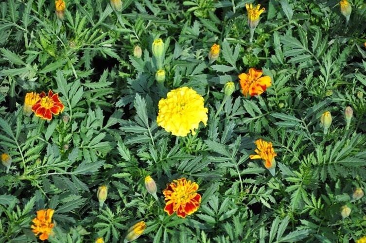 yellow, orange and red Tagetes