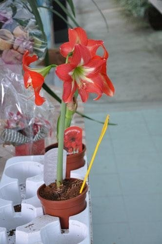 a pot with a red Amaryllis