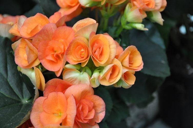 orange begonias