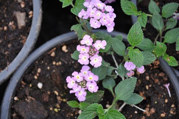 dei fiori viola e bianchi