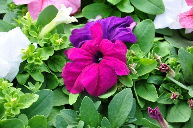 fucsia flowers