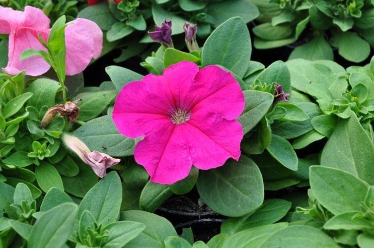 a fucsia flower