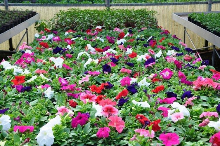 dei fiori colorati in una serra