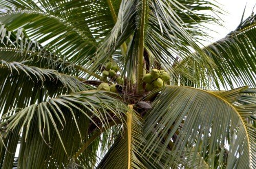 a coconut palm