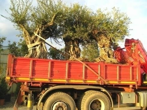 a truck bed with olive trees