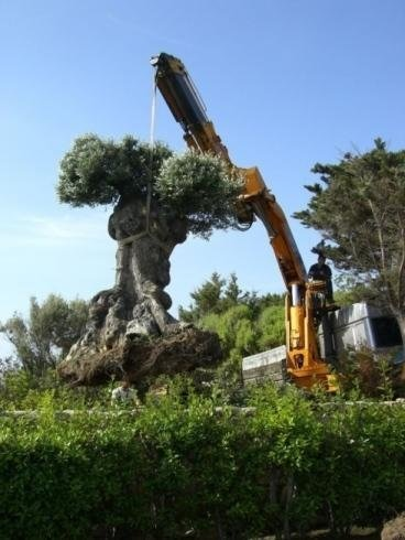 a crane being used to lift an olive tree