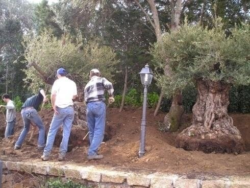 men with shovels, digging to earth an olive tree