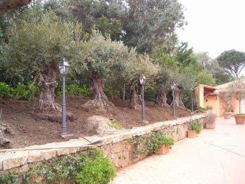 a row of olive trees, lampposts and a small wall