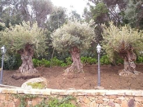 three olive trees almost in the earth