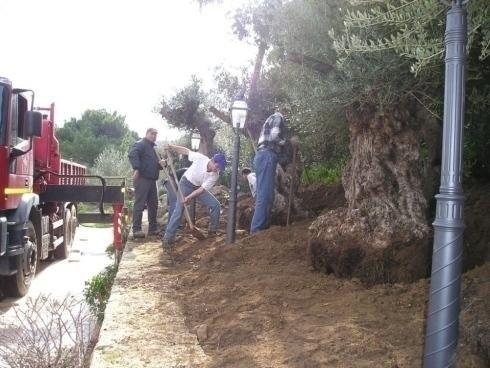 olive trees; men digging using shovels