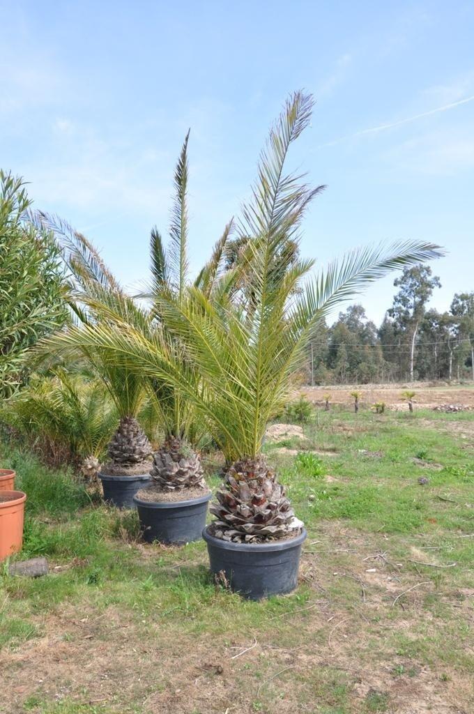 dei vasi con delle palme