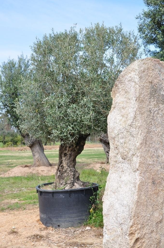 a potted olive tree