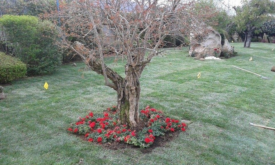 a tree on a lawn with red flowers around it