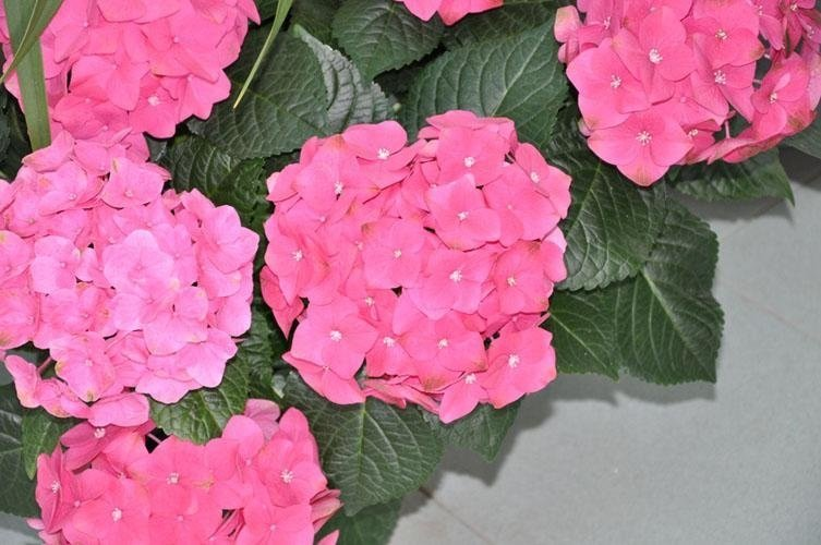 a plant with pink hydrangeas