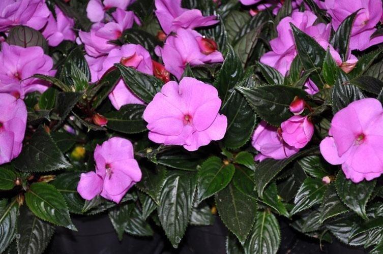 una pianta con dei fiori rosa