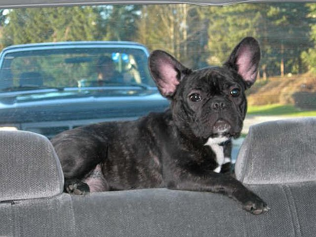Dog hanging out in the back of a car