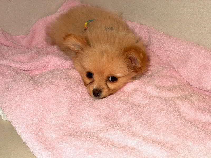 Puppy laying on a pink blanket