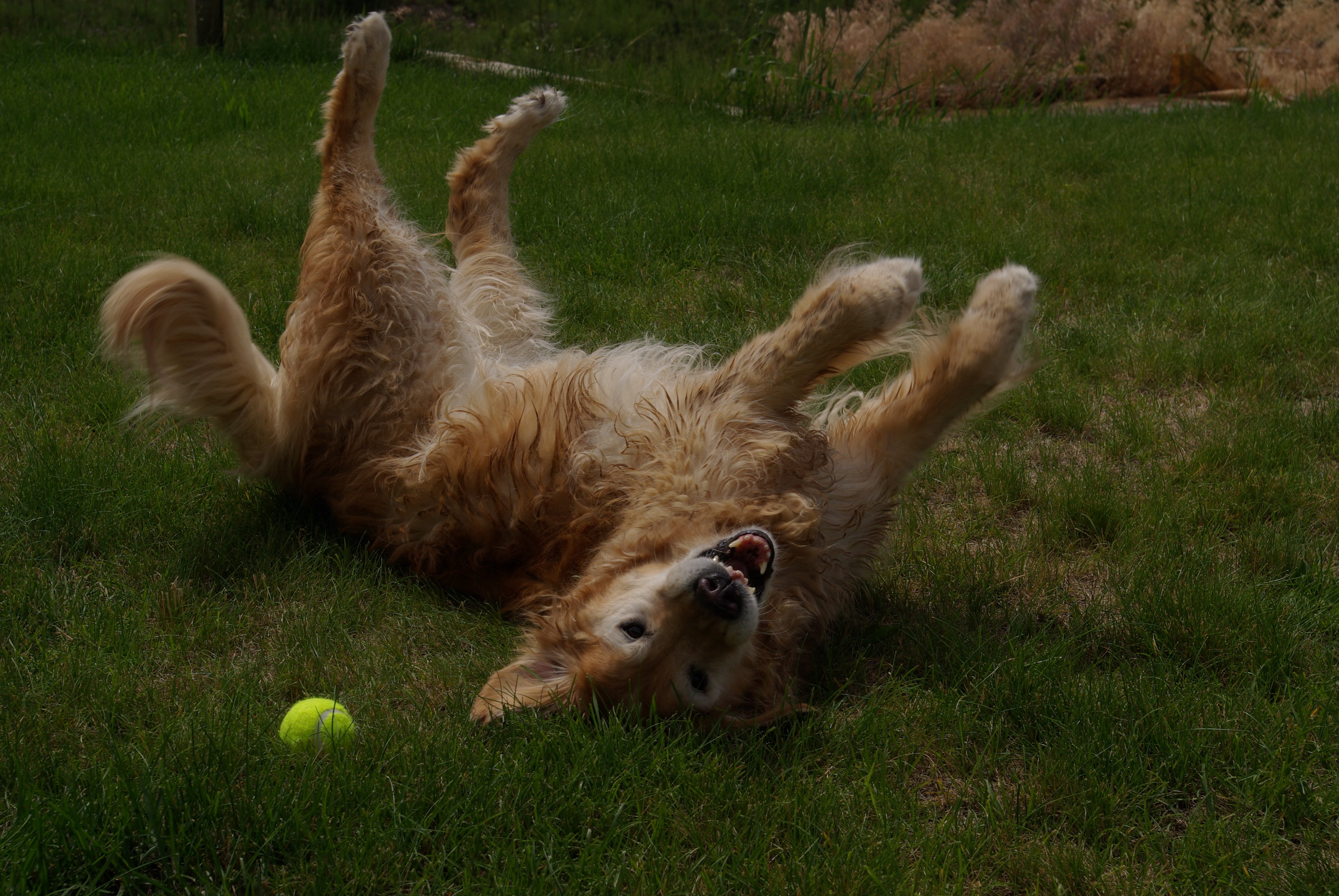 Playful dog rolling over in the grass
