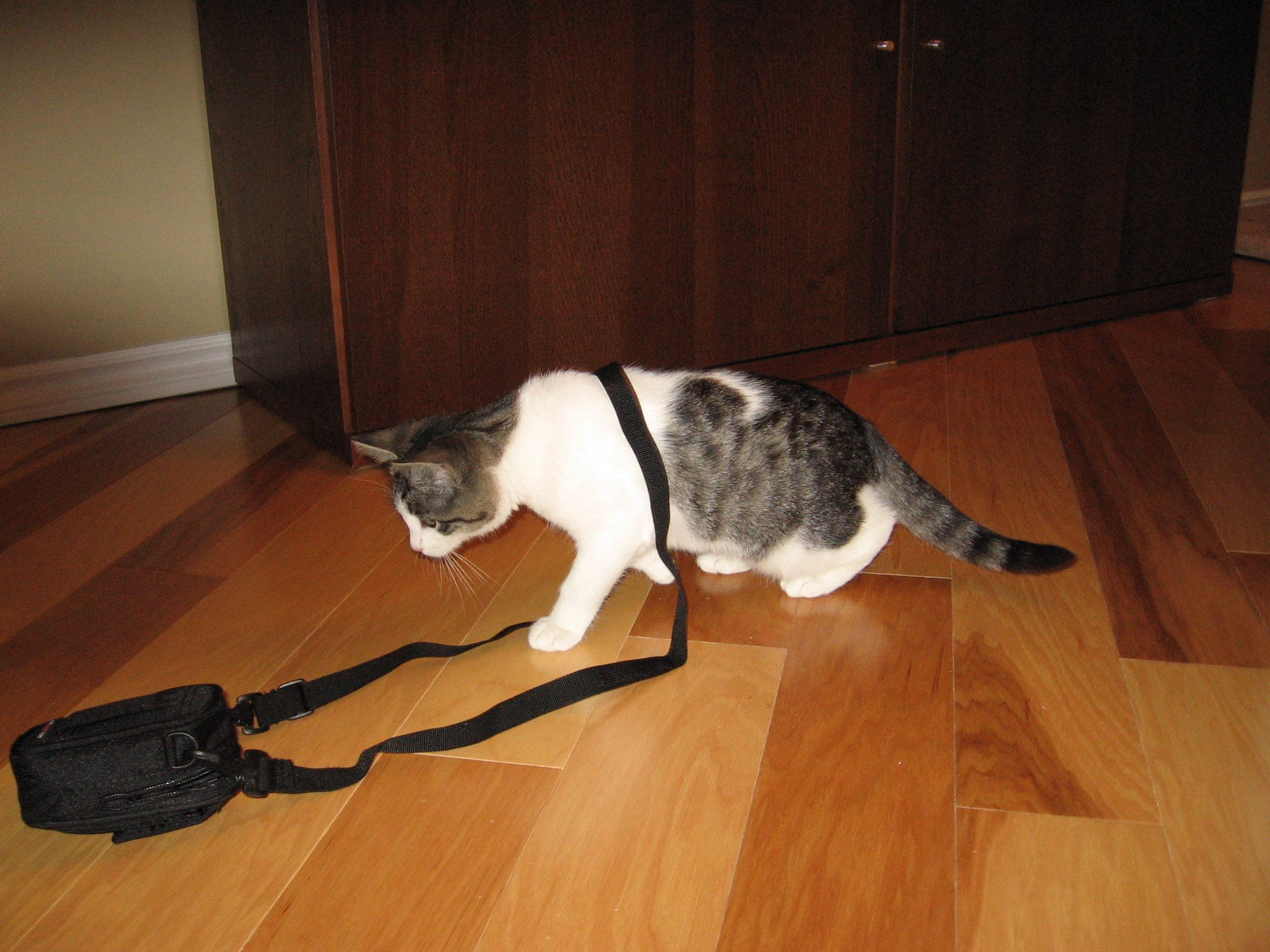 A cat with a bag around his body