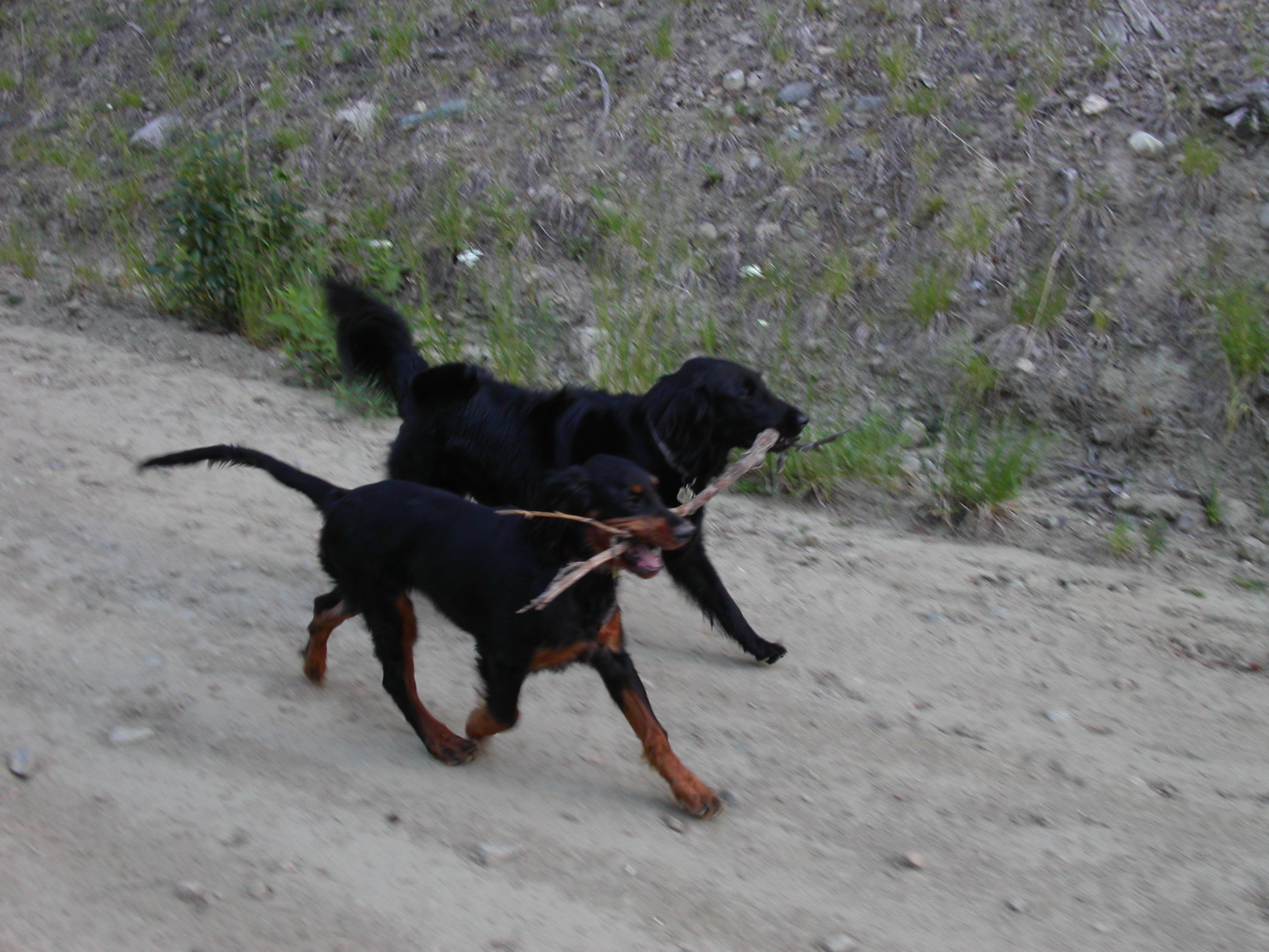Two dogs holding a stick together on dirt path