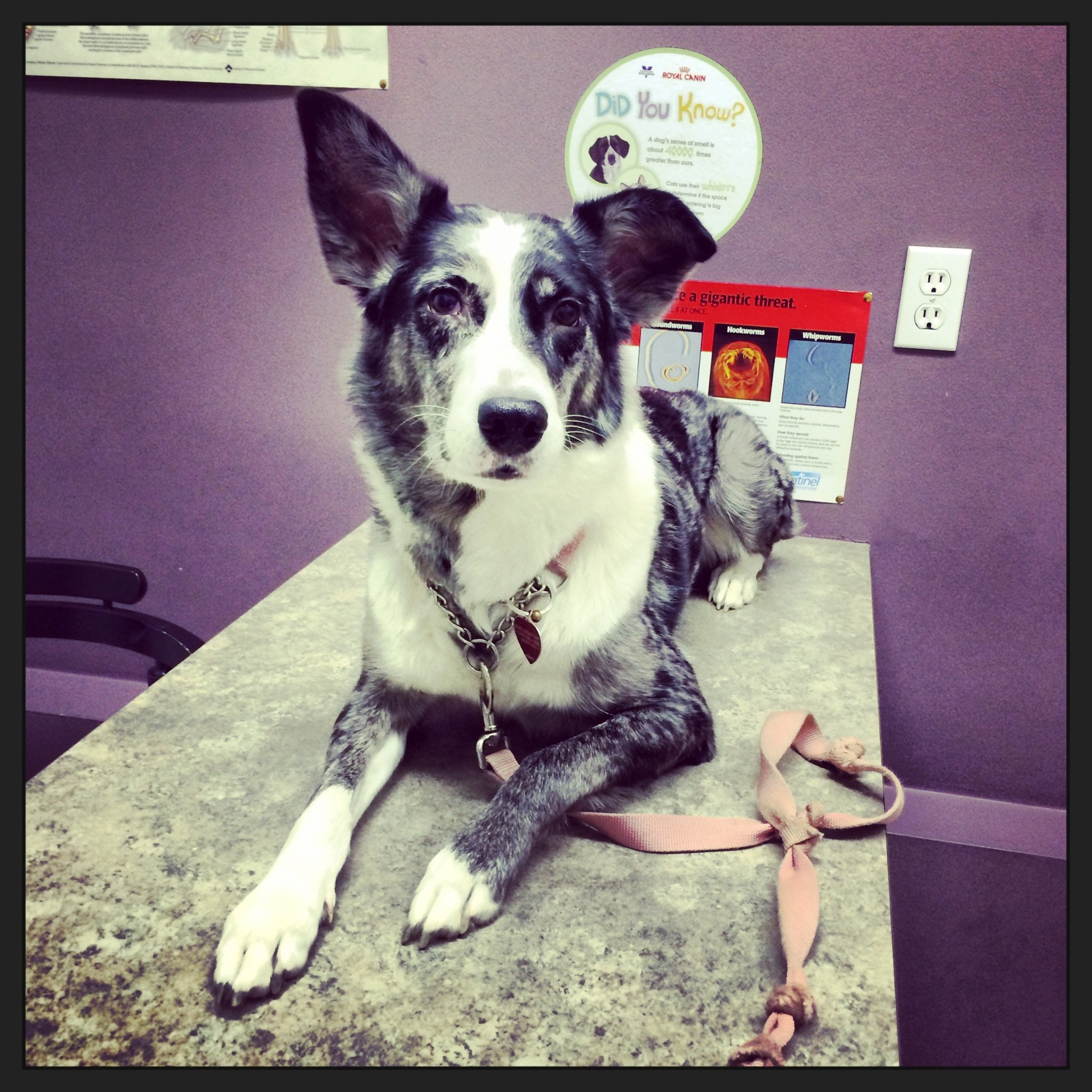 Dog curiously laying on a vet tech table