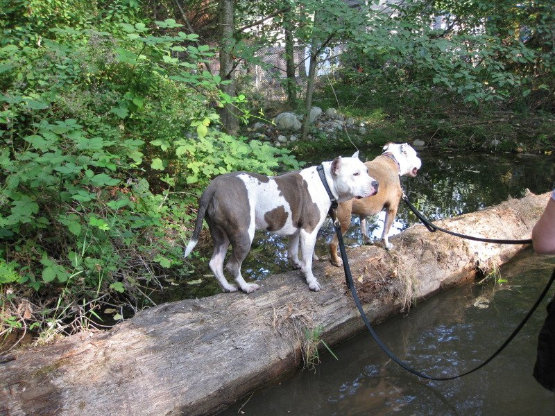 Two dogs crossing body of water on a large log