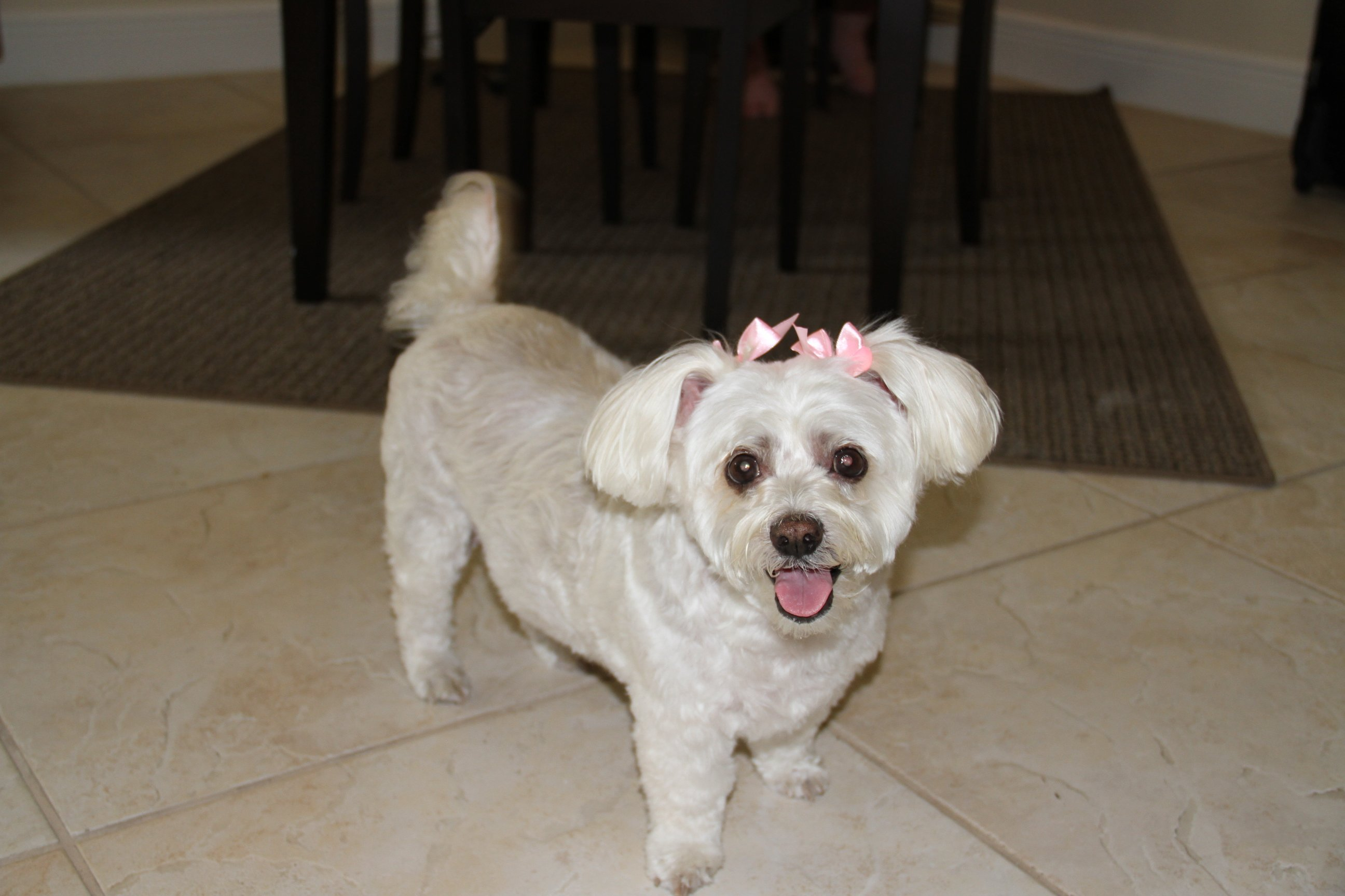 Dog with a pink bow on tile floor