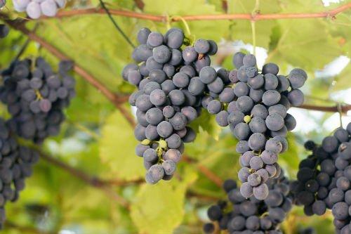 Grappoli di uve nere