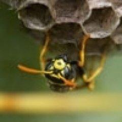interventi contro calabroni
