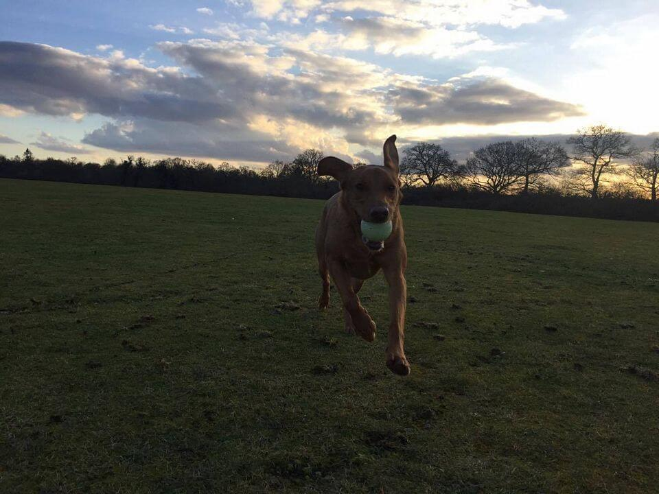 happy dog running with a ball in its mouth