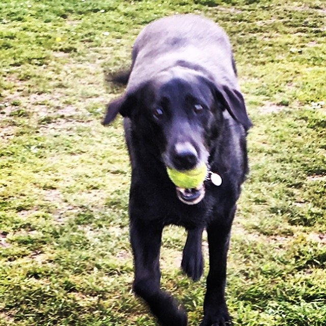 Black Labrador holding a ball in his mouth