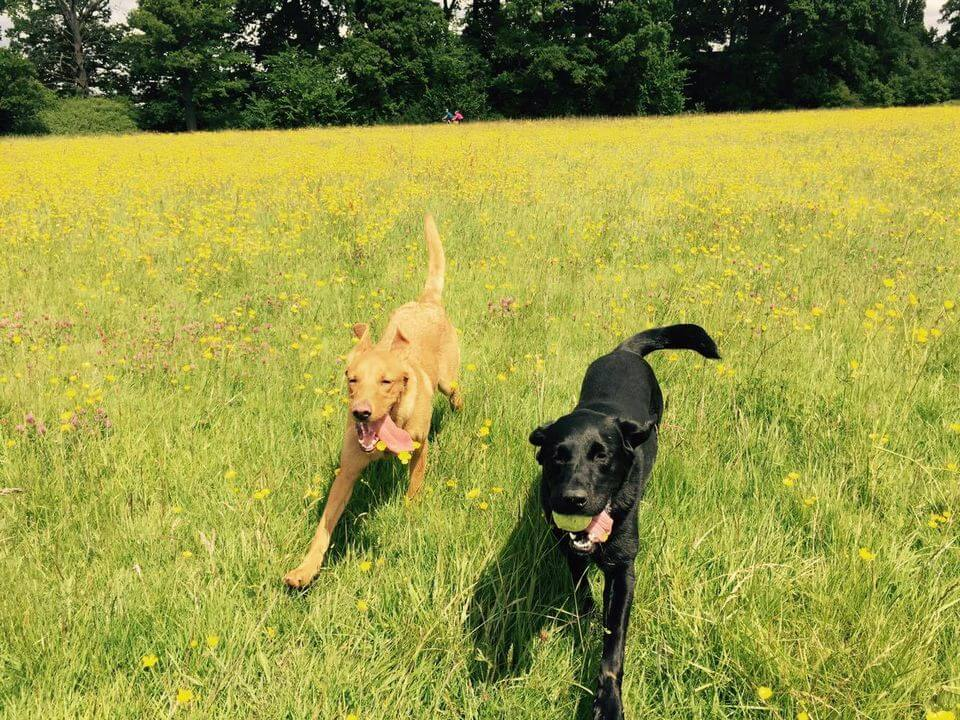 Two happy dogs in the field