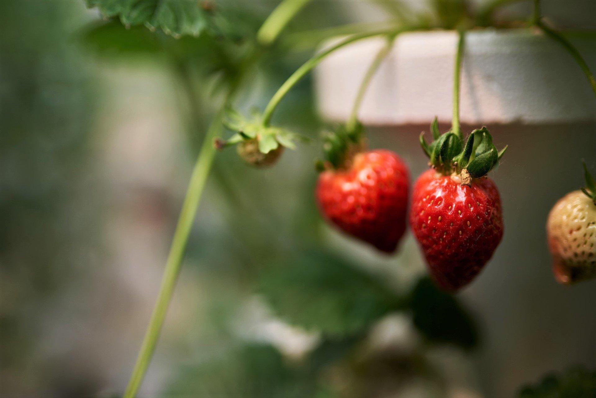 Hydroponic Strawberries photo