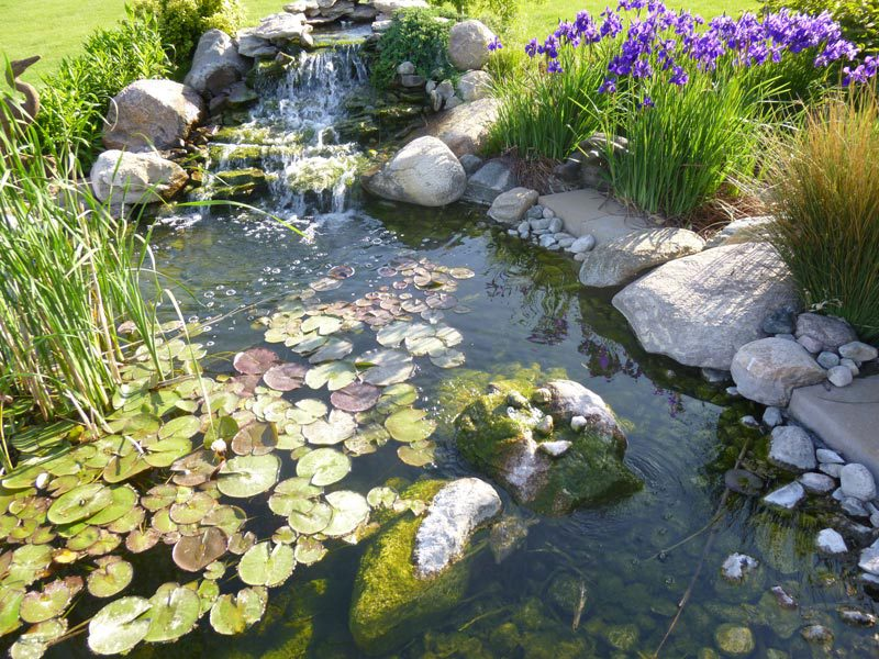 lillypad pond