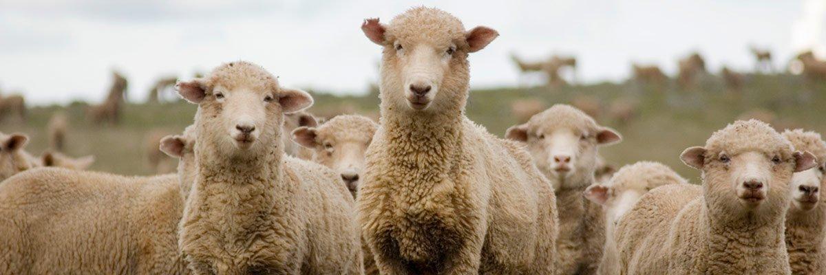 heywood livestock sheep swarm