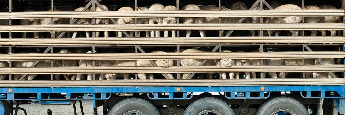heywood-livestock-truck-sheep