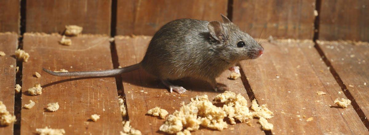 Ratto con pane