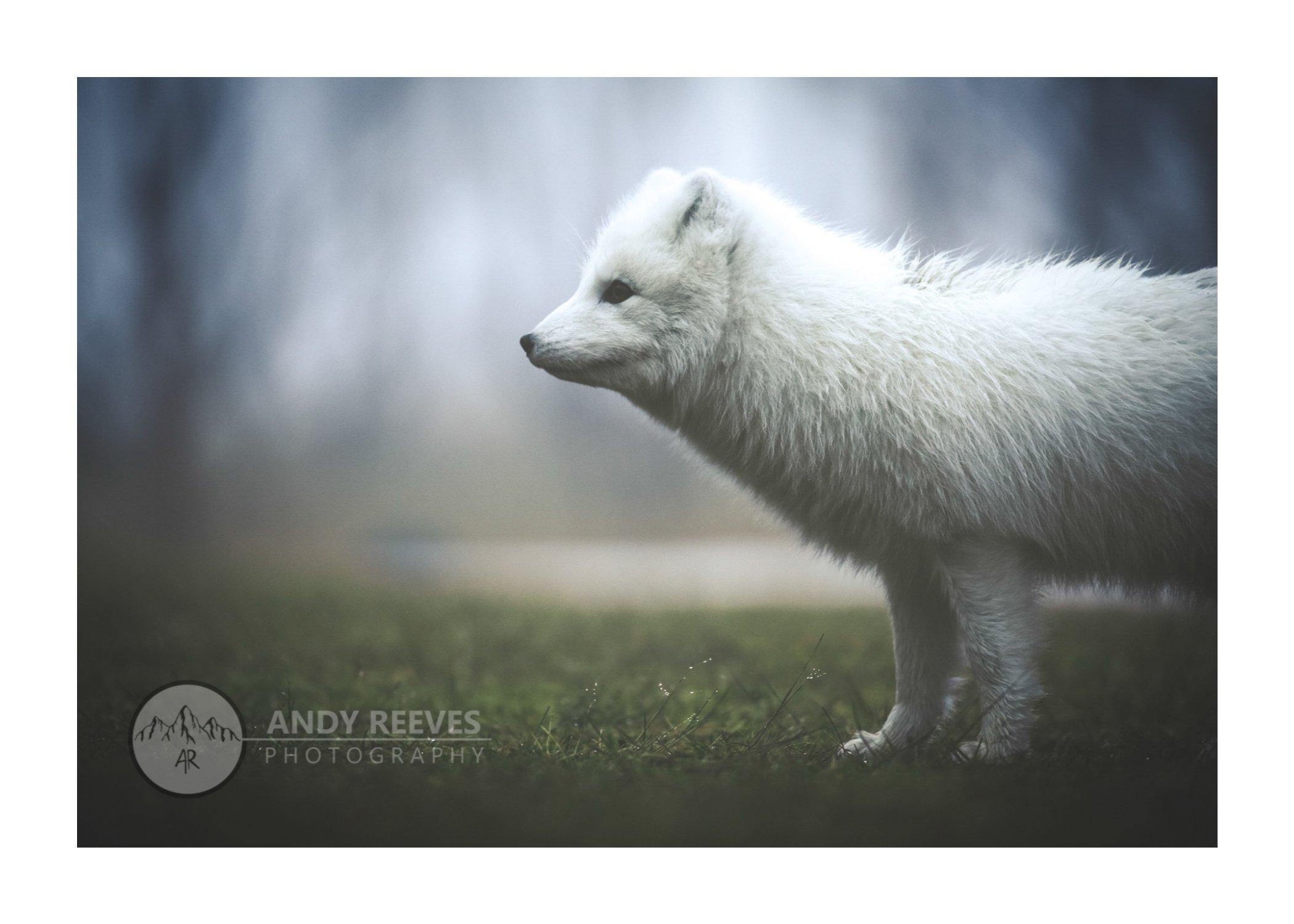 Arctic Fox, Þórsmörk
