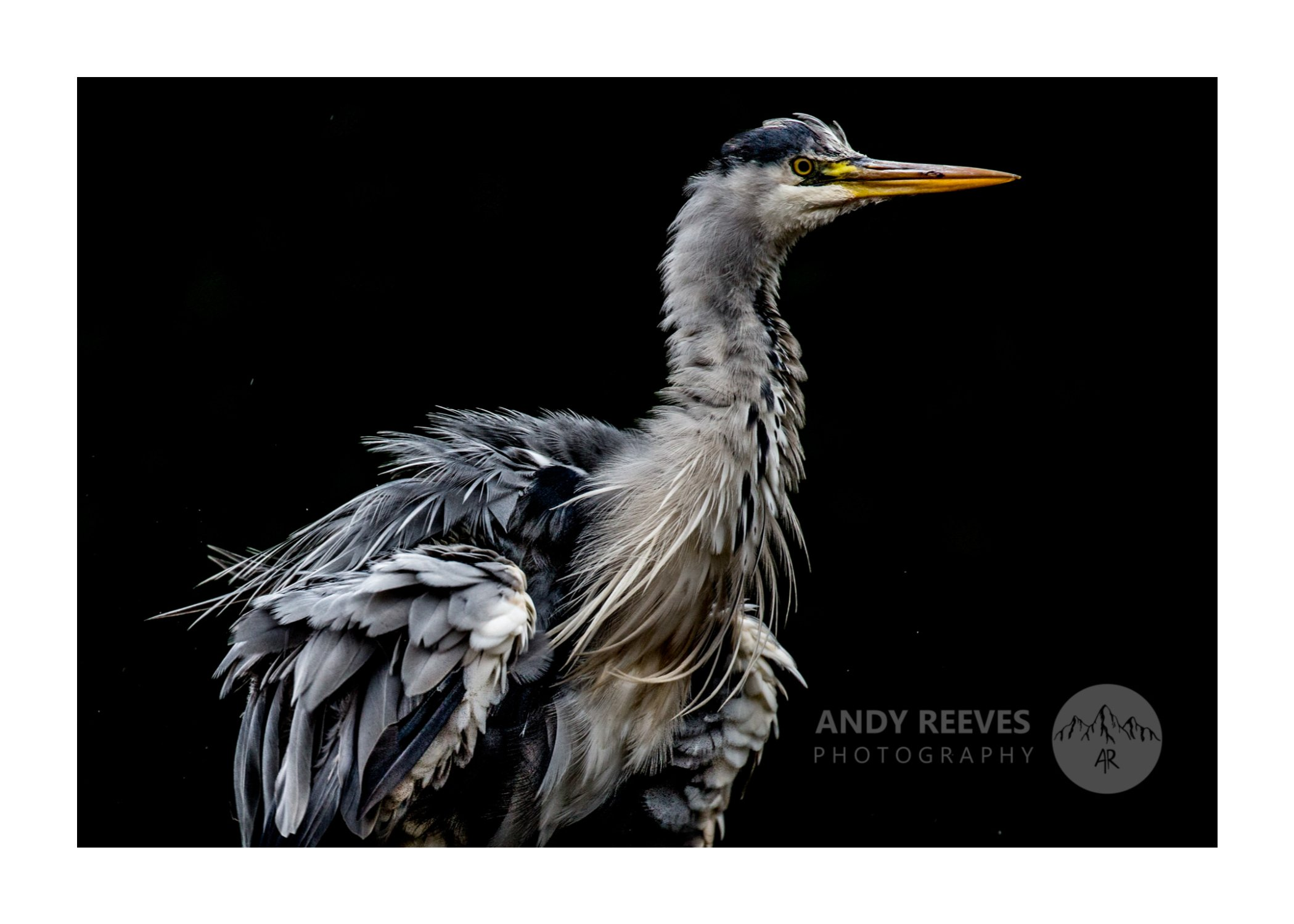 Gren Herons' Majesty