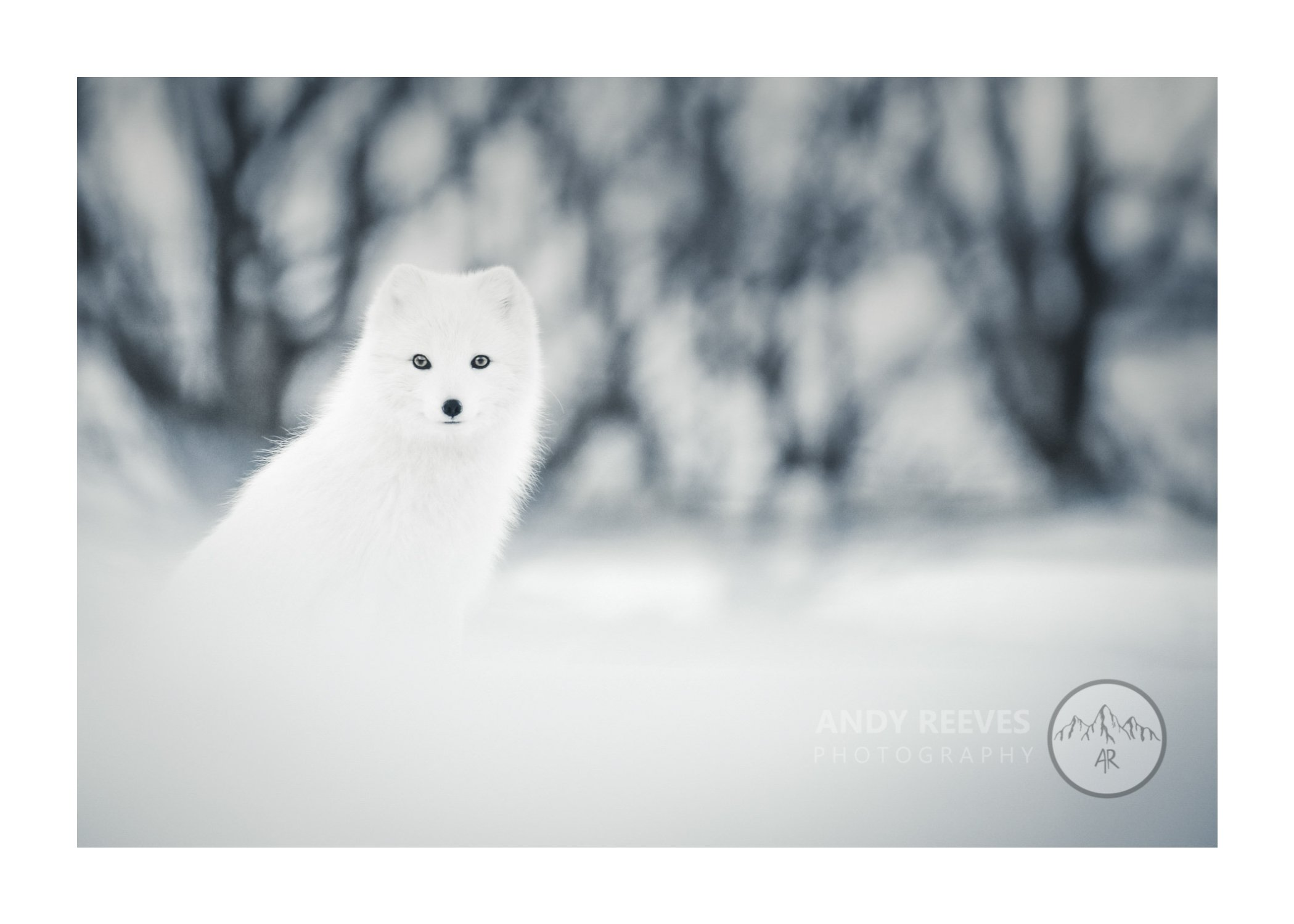 Arctic Fox White-out
